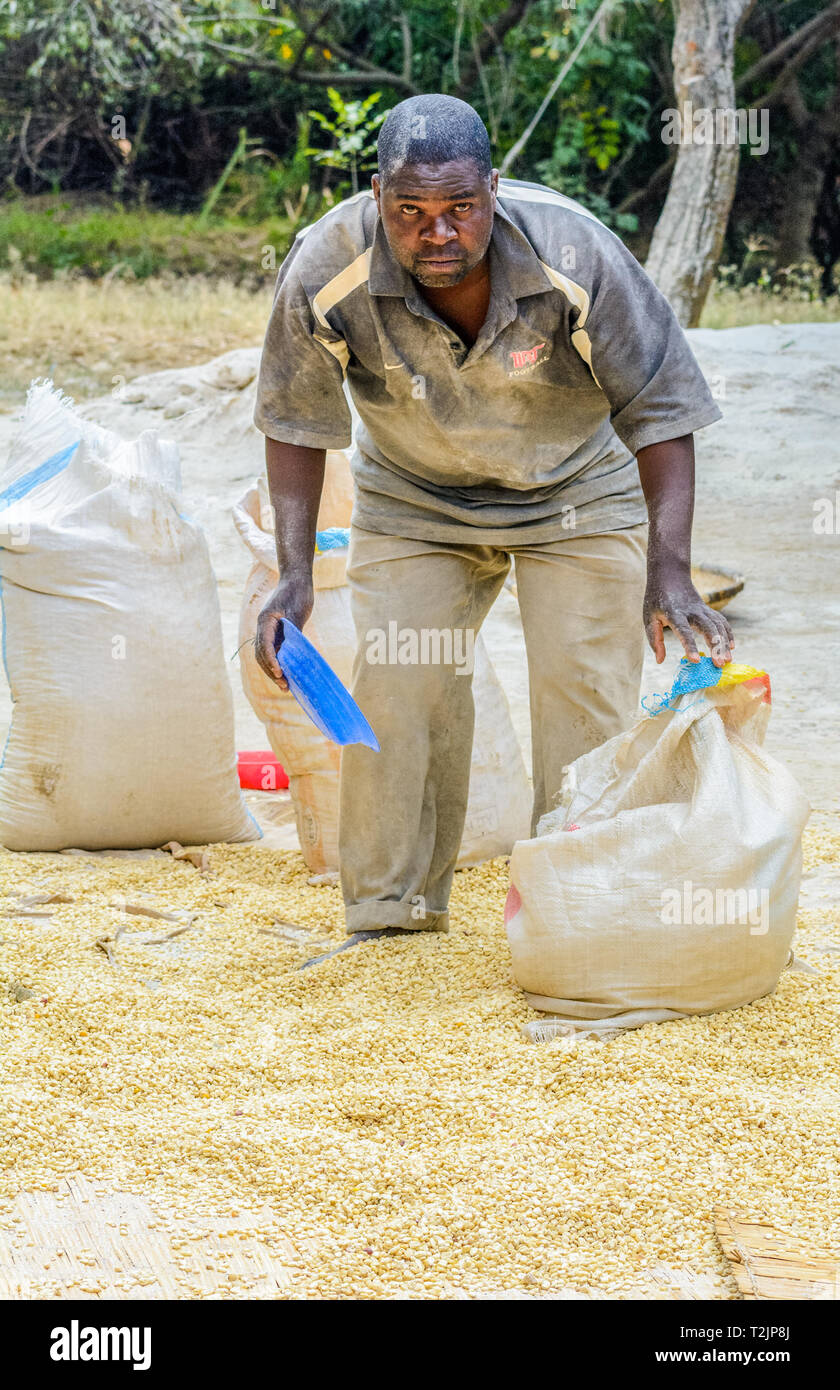 Malawian man scooping treated maize into a sack - Stock Image
