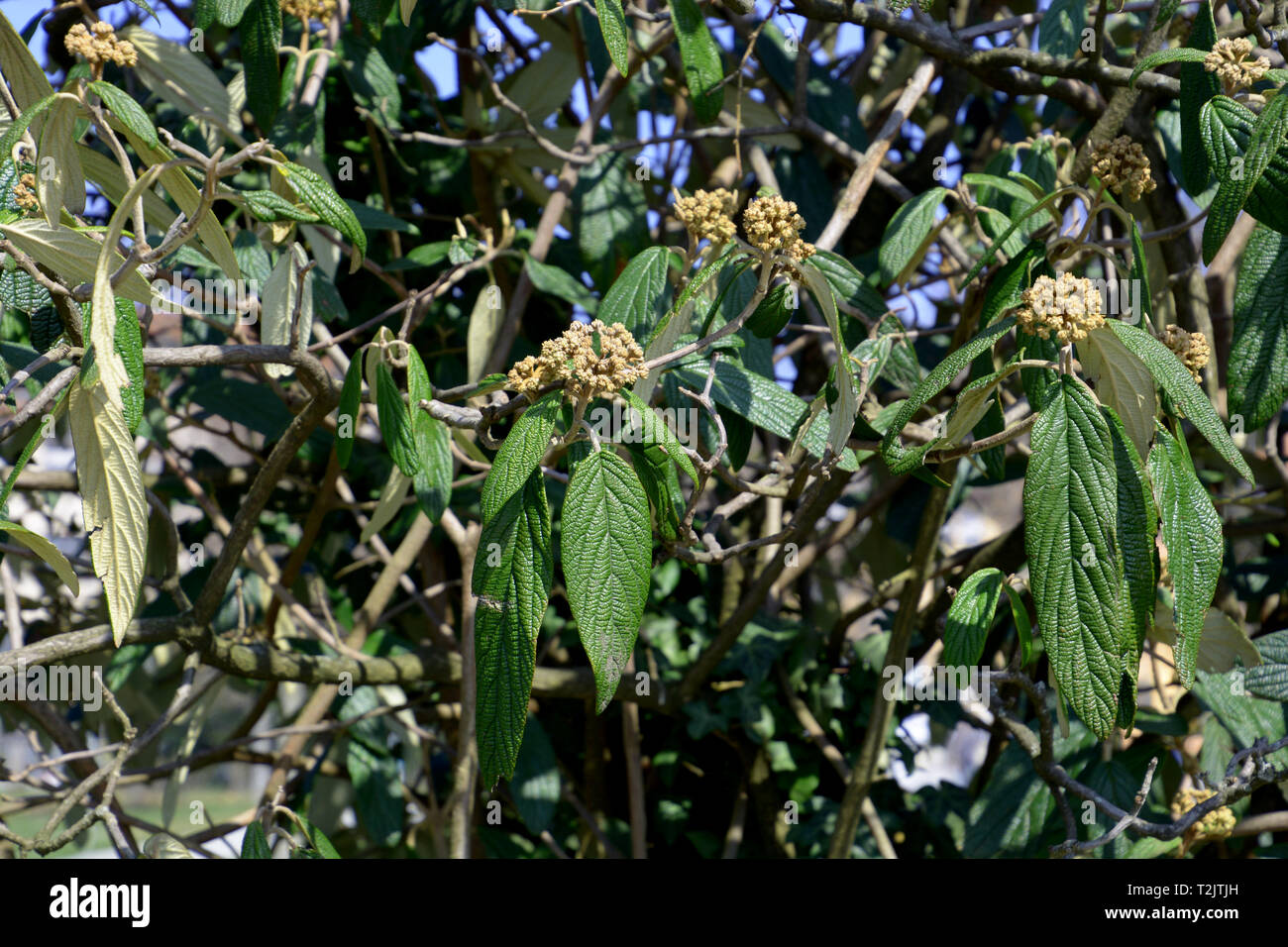 flower buds of viburnum hedge in early spring, viburnum rhytidophyllum shrub also called leatherleaf viburnum a spring season at lake constance - Stock Image
