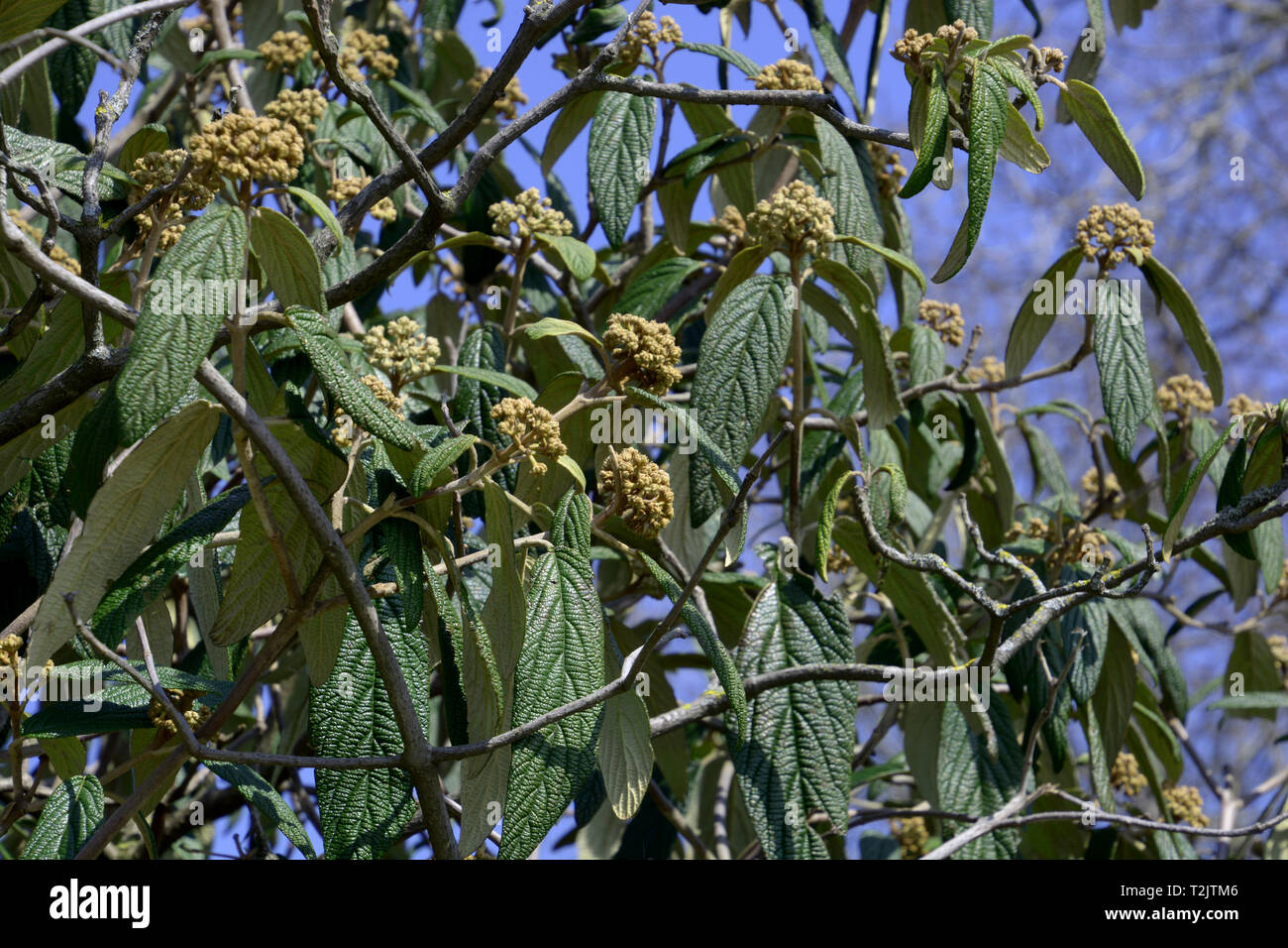viburnum rhytidophyllum shrub also called leatherleaf viburnum a spring season at lake constance, flowering viburnum in spring with yellow closed flow - Stock Image