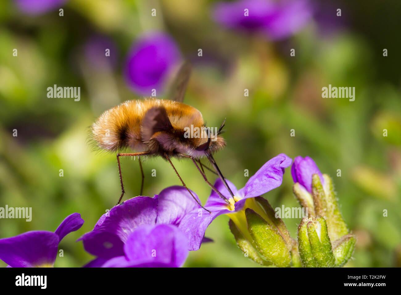 Grosser Wollschweber, Bombylius major, bee fly Stock Photo