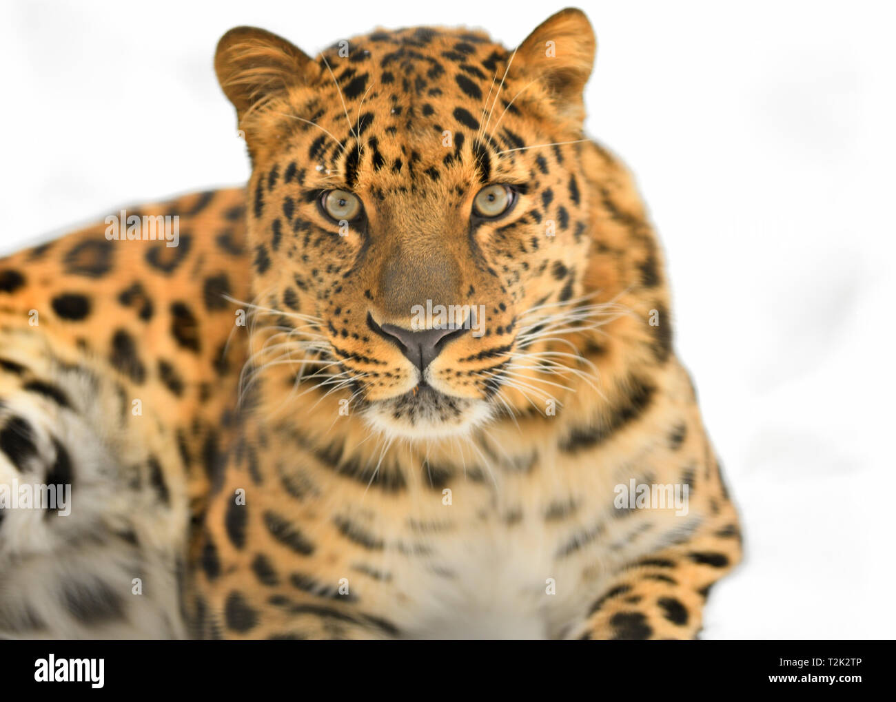 Far Eastern leopard. - Stock Image
