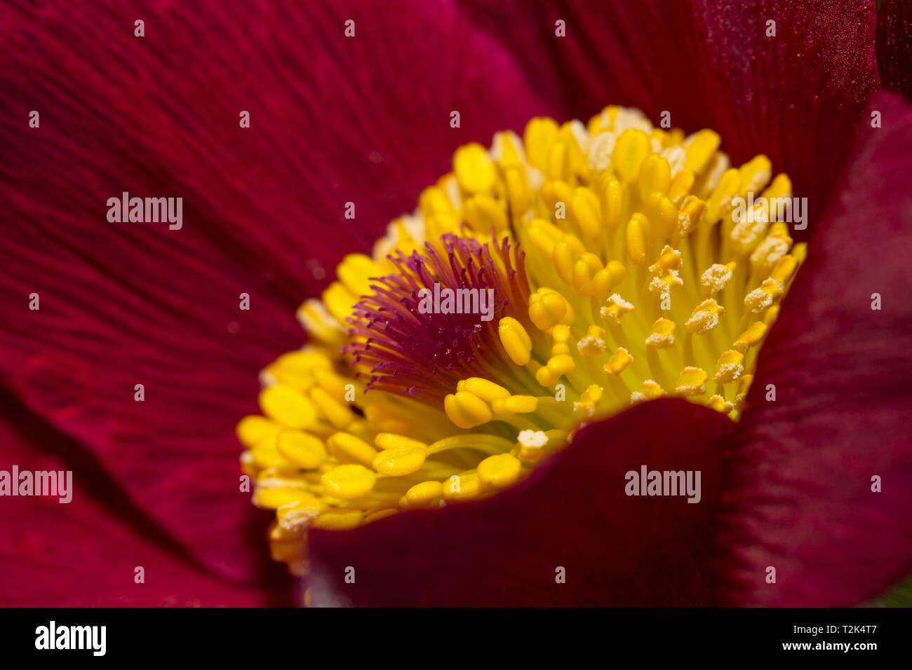 Kuechenschelle, Pulsatilla, pasque flower Stock Photo