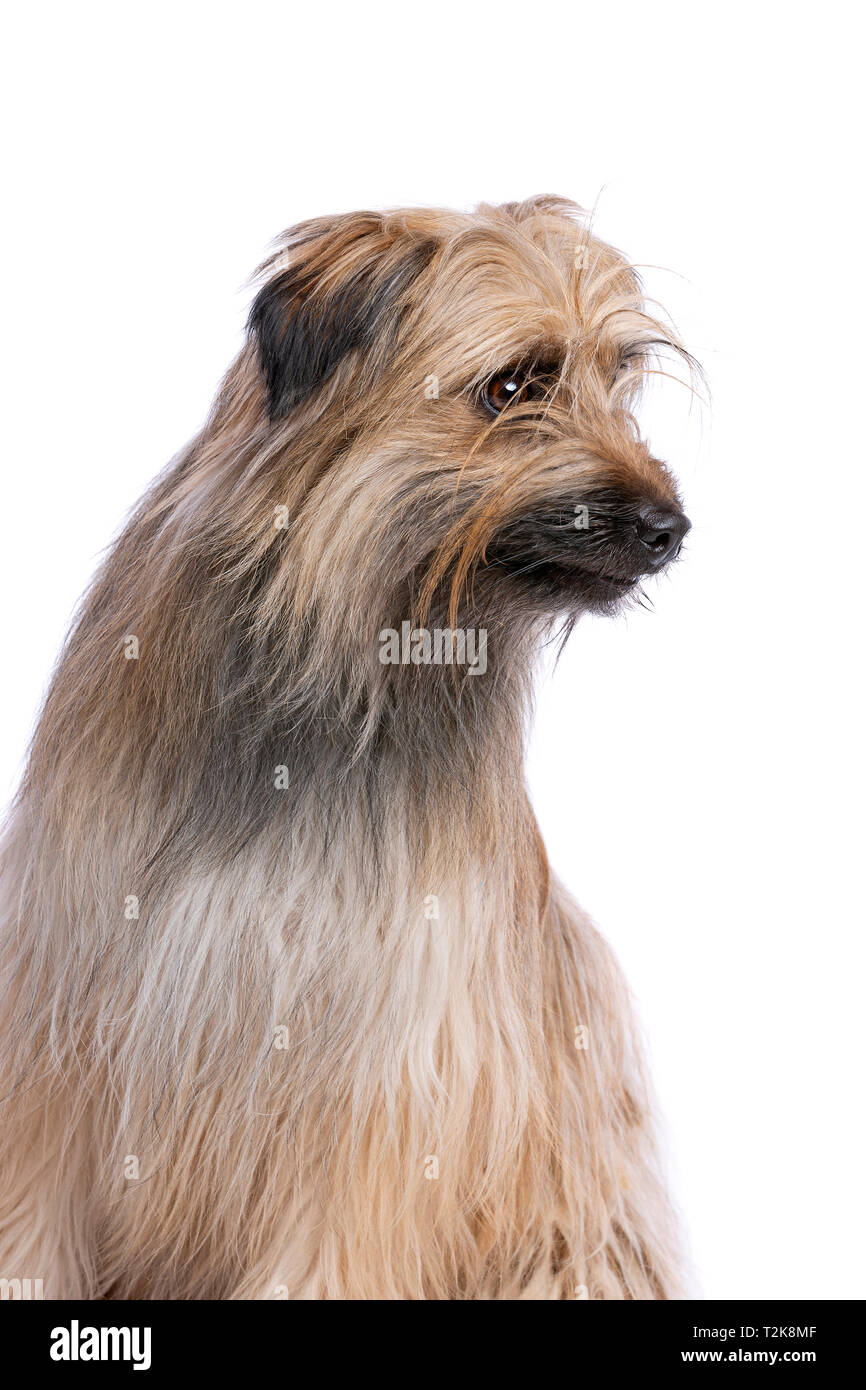 brown Pyrenean Shepherd in front of a white background - Stock Image