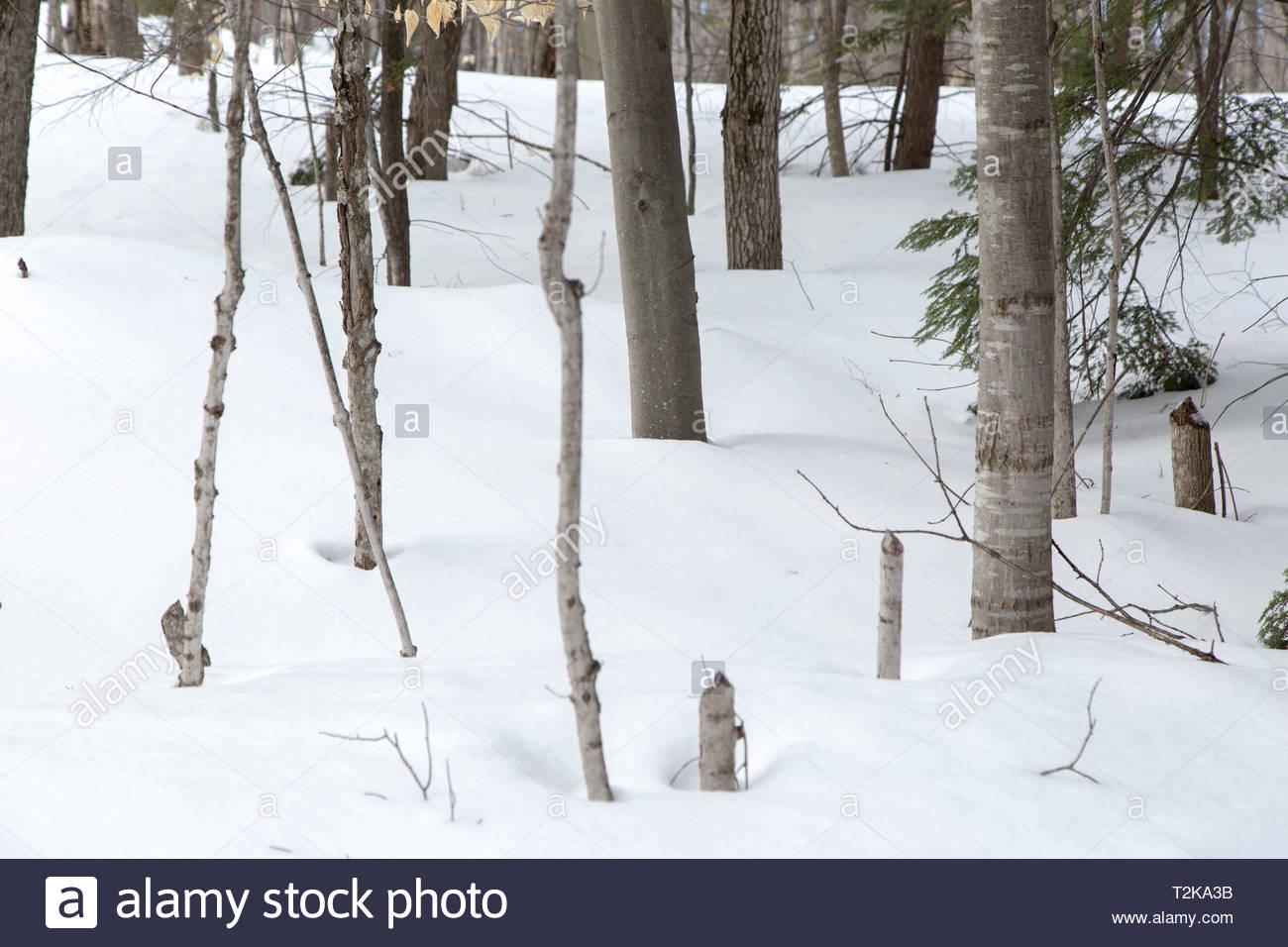 Forest surrounding a country lane in Seguin County, Muskoka, Ontario. - Stock Image