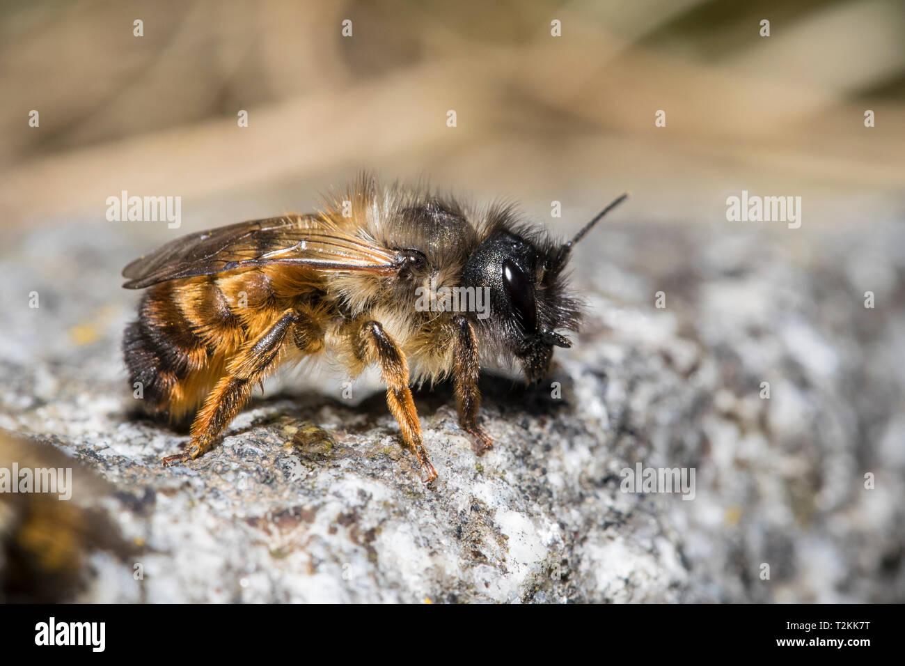 Rote Mauerbiene, Osmia bicornis, red mason bee - Stock Image