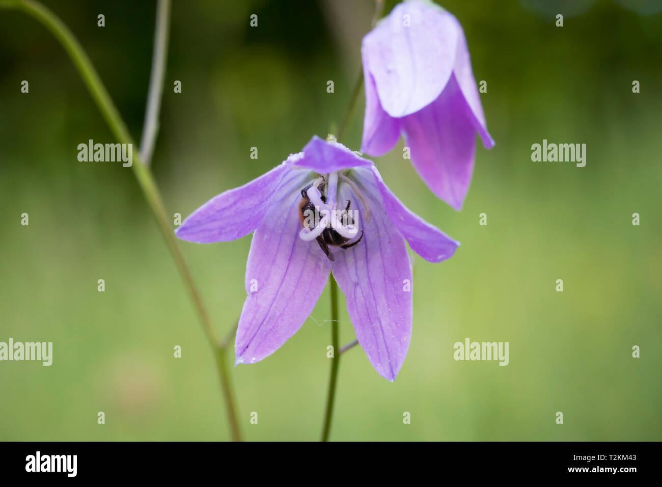 Wildbiene in Glockenblume, Wild bee in bellflower - Stock Image