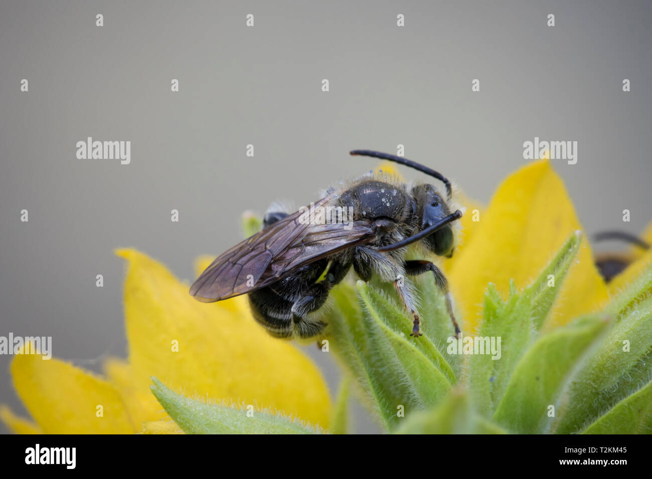 Wildbiene, Macropis - Stock Image