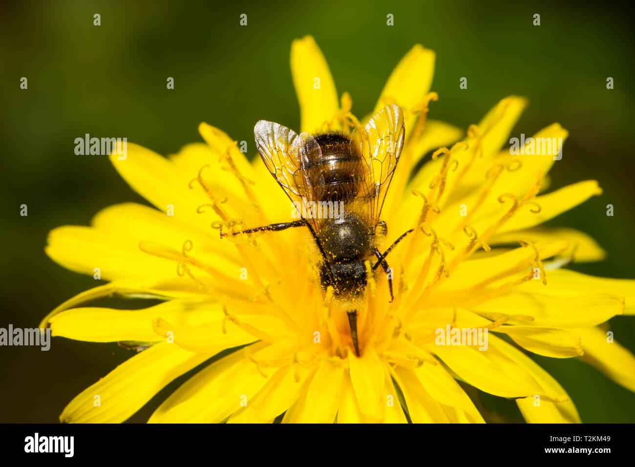 Wildbiene - Stock Image