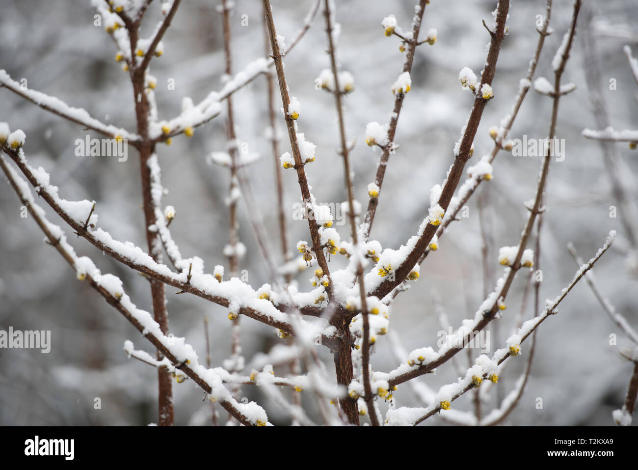 heavy sticky snow falling on tree branches with buds in early spring, close - Stock Image