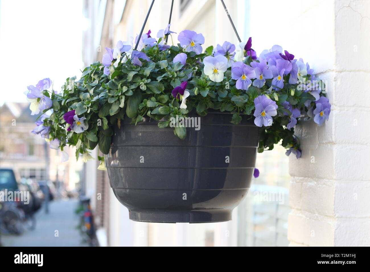 In a Dutch street with well maintained 19th century houses the residents attache viola plants in baskets - Stock Image