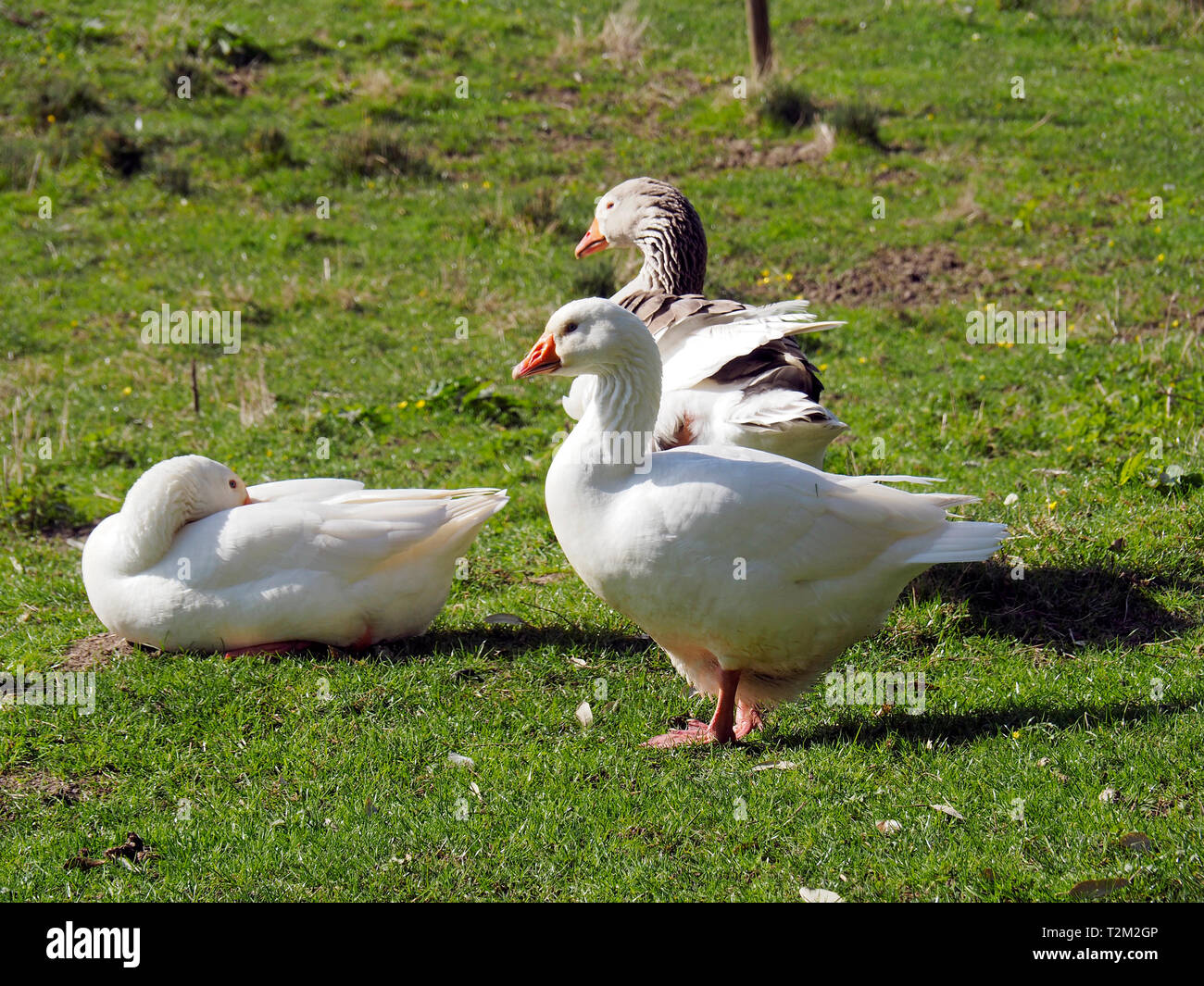 Domestic geese rest in a grassy meadow. Stock Photo