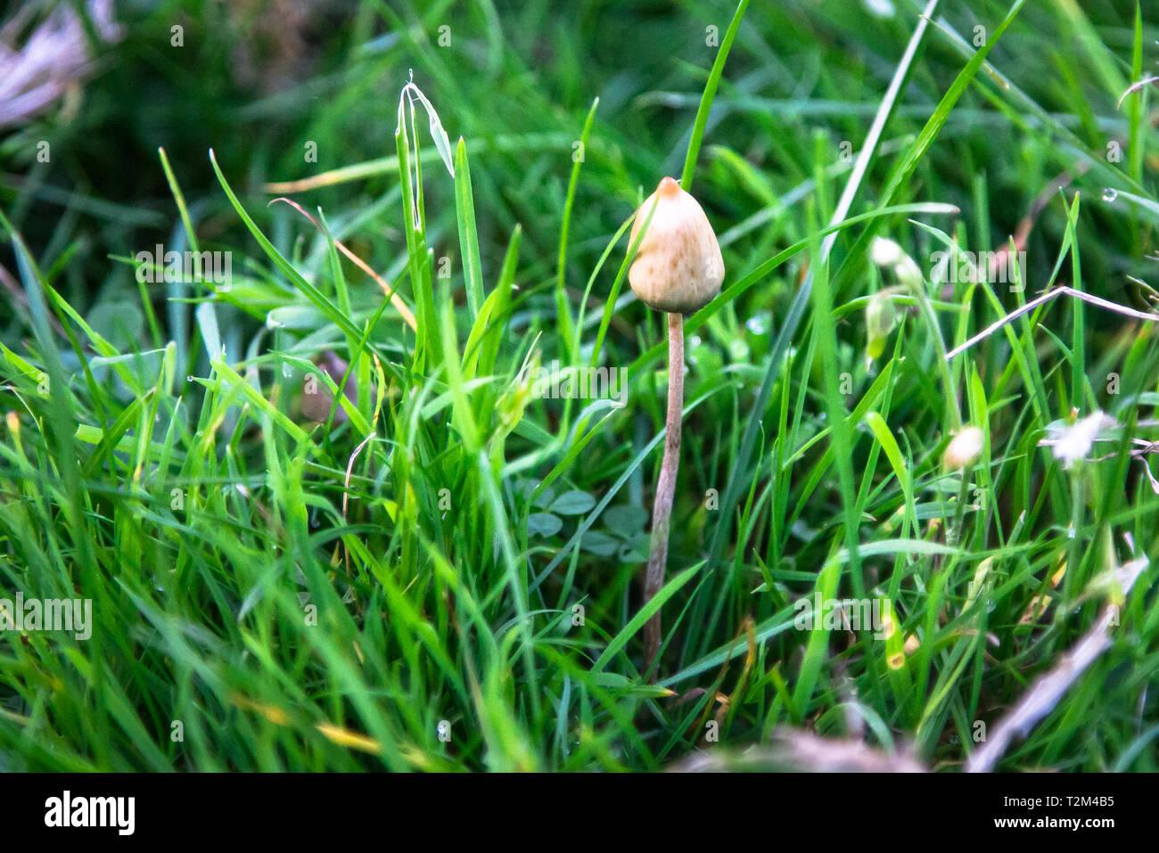 Magic Mushroom Liberty Cap Stock Photos & Magic Mushroom