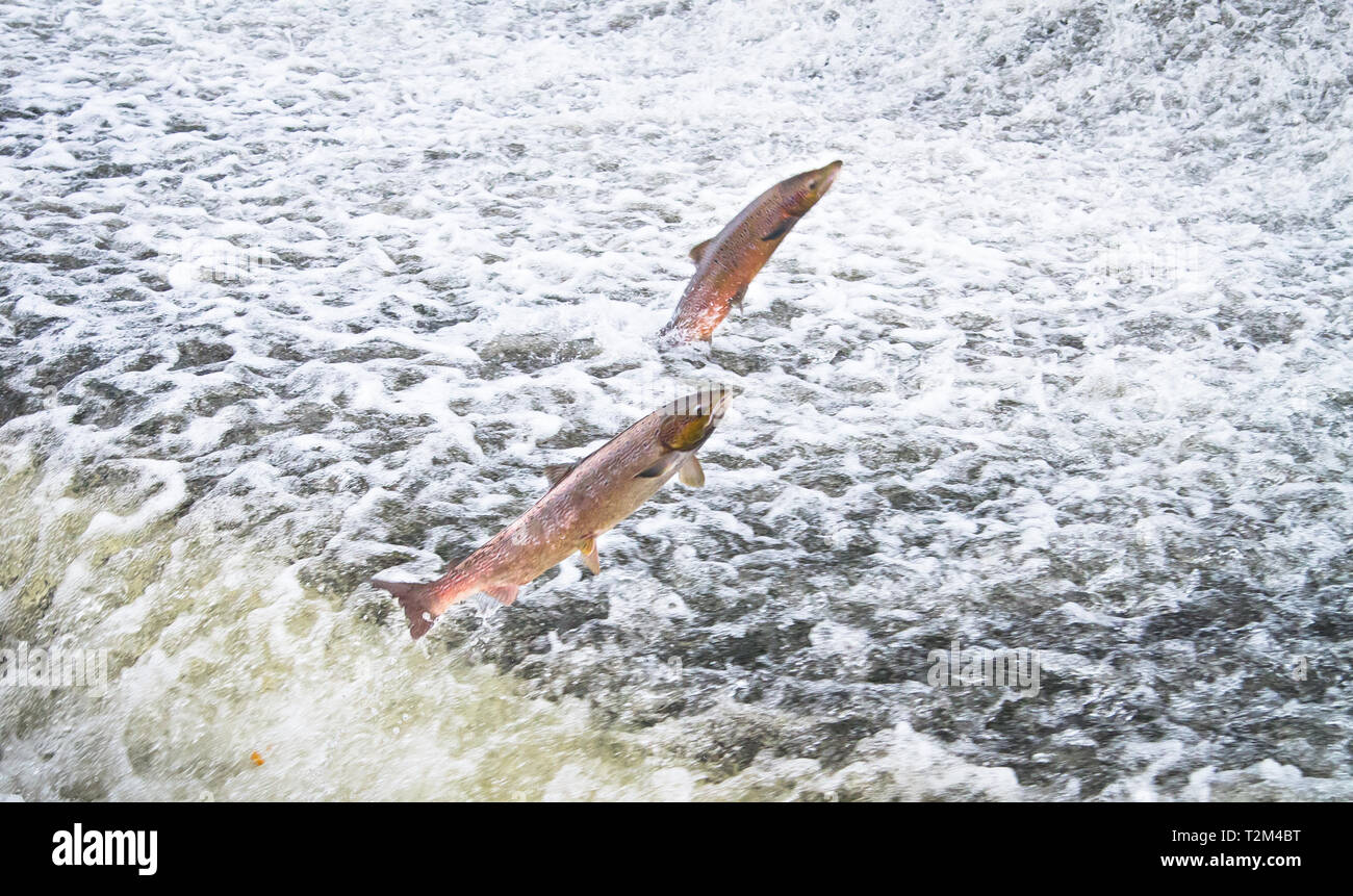 A pair of Atlantic salmon (Salmo salar) jumps out of the water at the Shrewsbury Weir on the River Severn in an attempt to move upstream to spawn. Shr - Stock Image