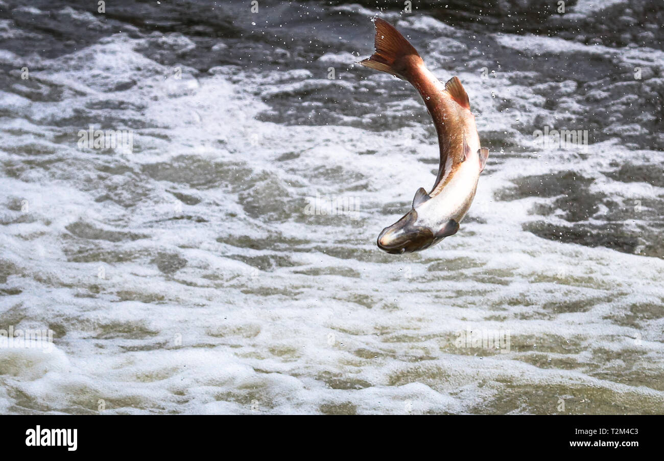 An Atlantic salmon (Salmo salar) jumps out of the water at the Shrewsbury Weir on the River Severn in an attempt to move upstream to spawn. Shropshire - Stock Image