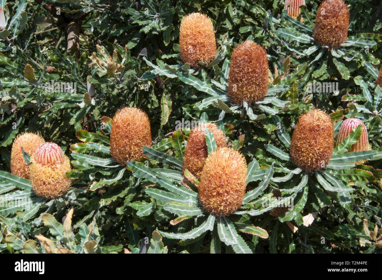 Menzies Banksia, Banksia menziesii or Firewood Banksia at the Australian Garden, Cranbourne, Victoria Stock Photo