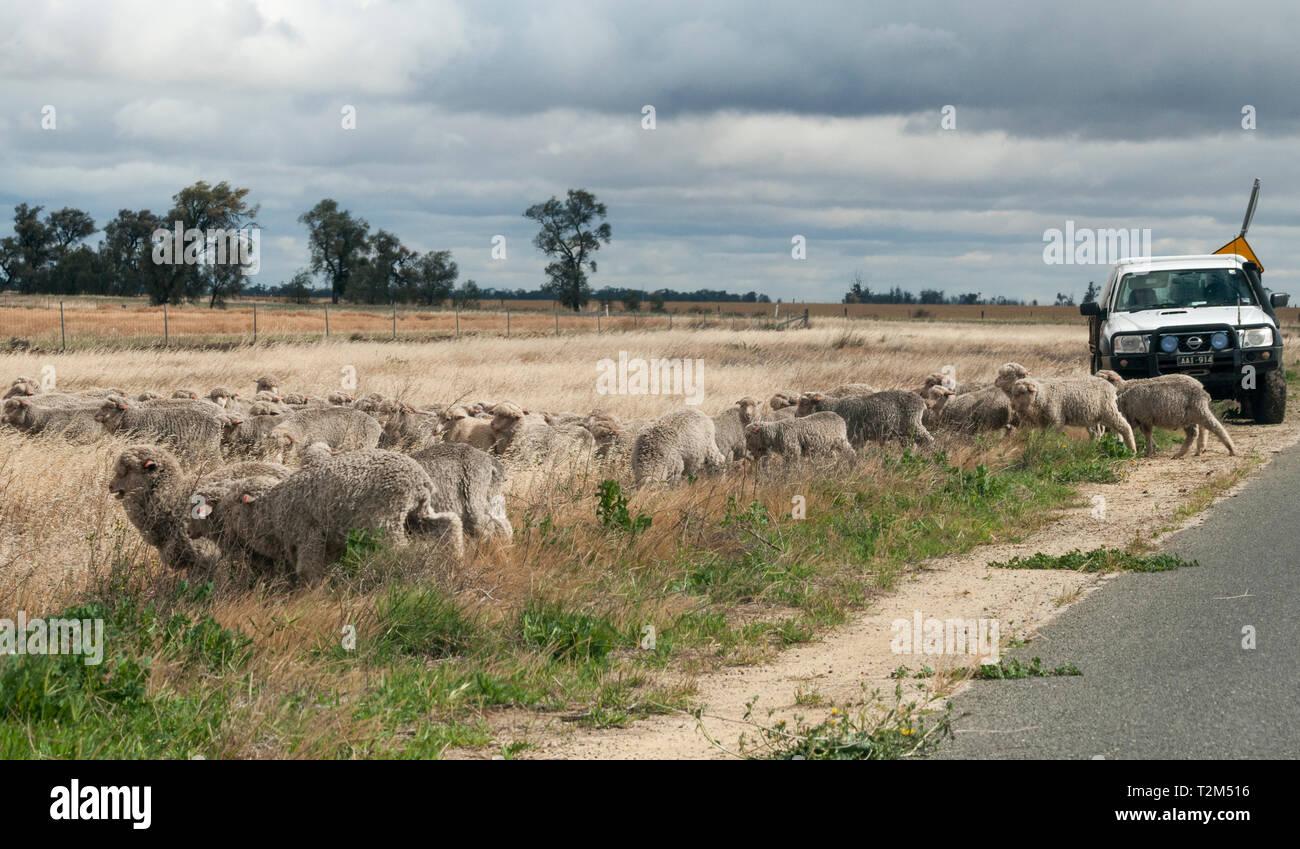 Herding sheep in the Wimmera region, Victoria, Australia Stock Photo