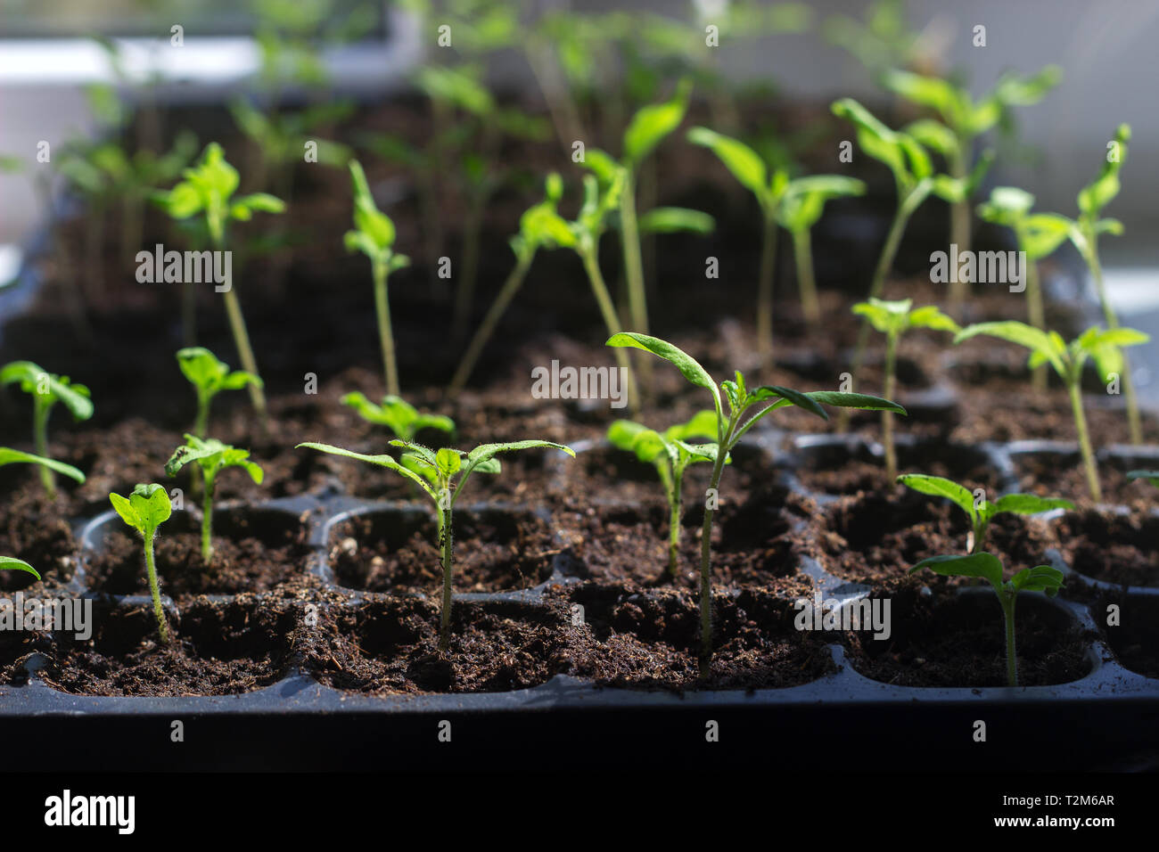 Tray with young tomato sprouts on the windowsill. Growing seedlings at home. Selective focus. Stock Photo