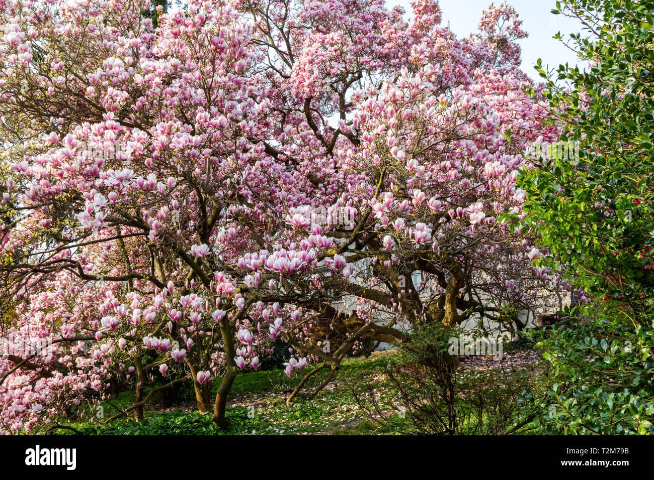 Magnolia Tree Full Bloom Stock Photos Magnolia Tree Full Bloom