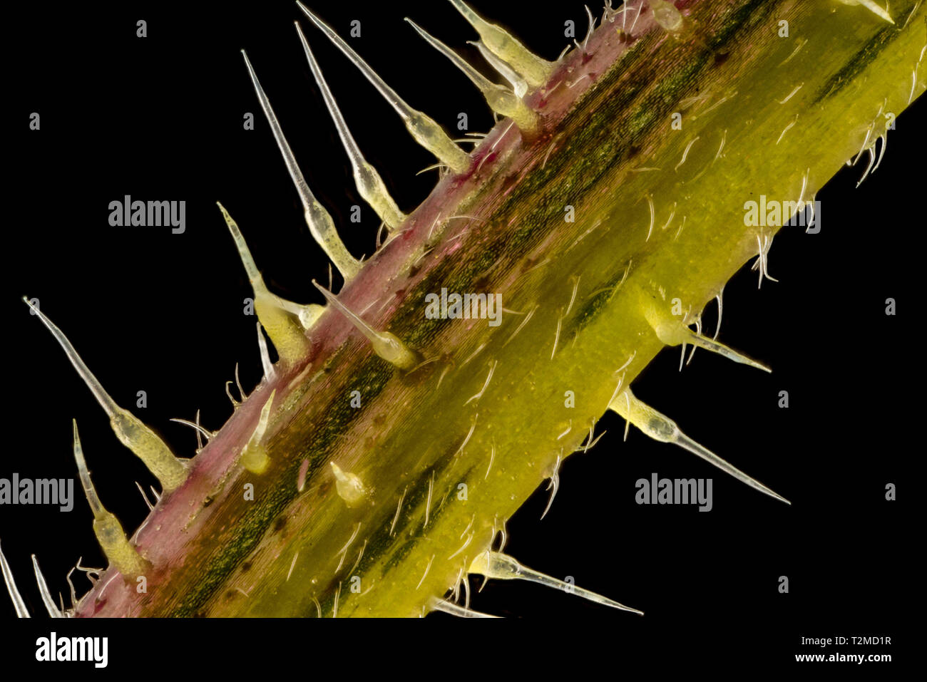 Stacked focus, extreme close up of of stinging nettle stem(Urtica dioica) showing the sting cells or trichome hairs. five times magnification - Stock Image