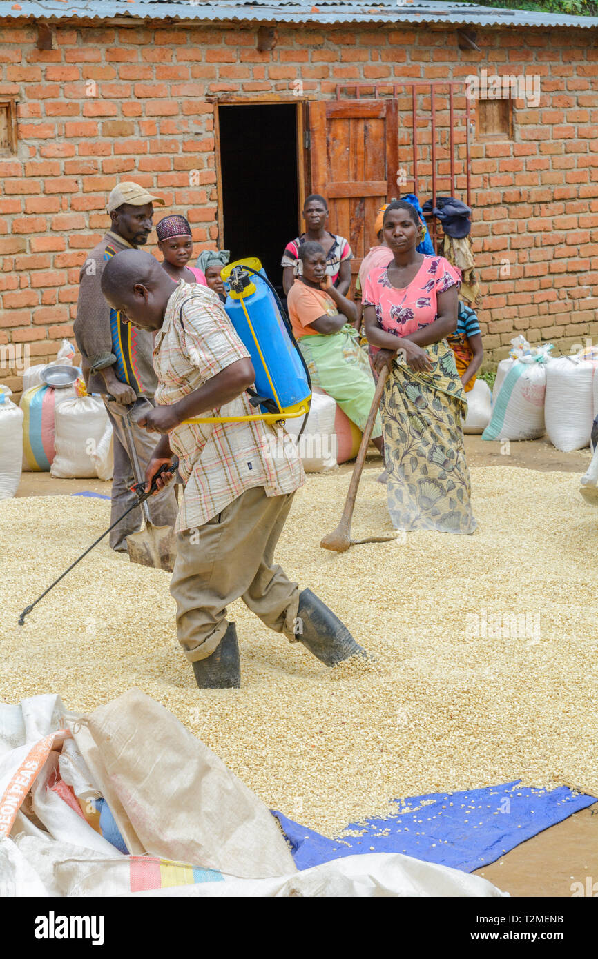 Malawian man spraying maize with a chemical treatment - Stock Image