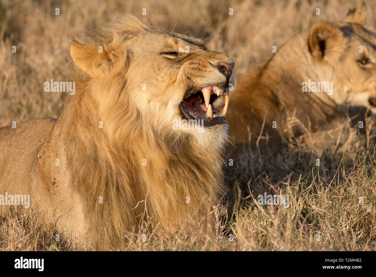 A young male and female lion laying in open grassland, closer view, male in foreground and snarling, Lewa Conservancy, Lewa, Kenya, Africa - Stock Image