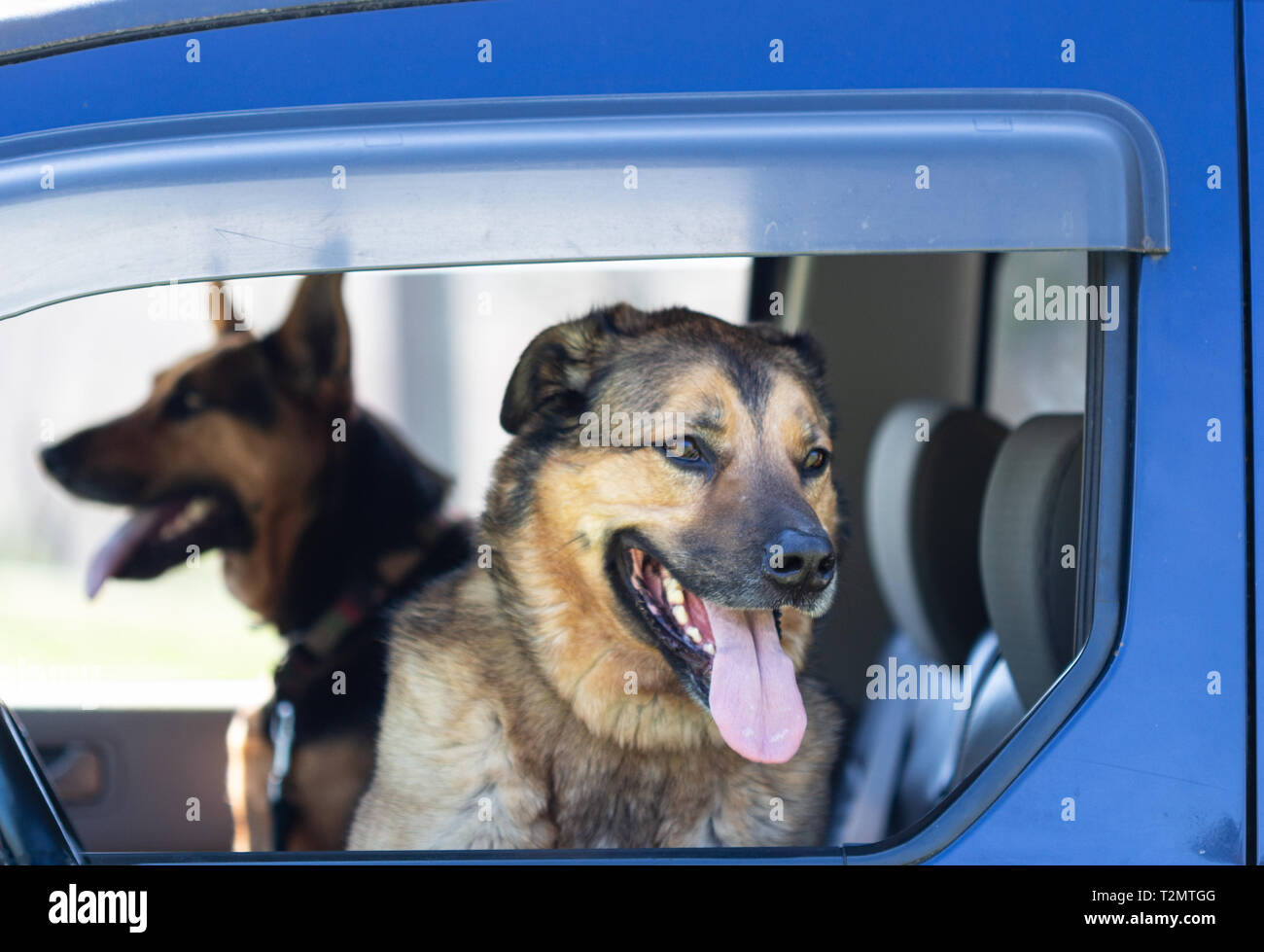 A German Shepherd mix and a Dutch Shepherd mix (Canis lupus familiaris) sit in the front seat waiting, ready for excitement Stock Photo