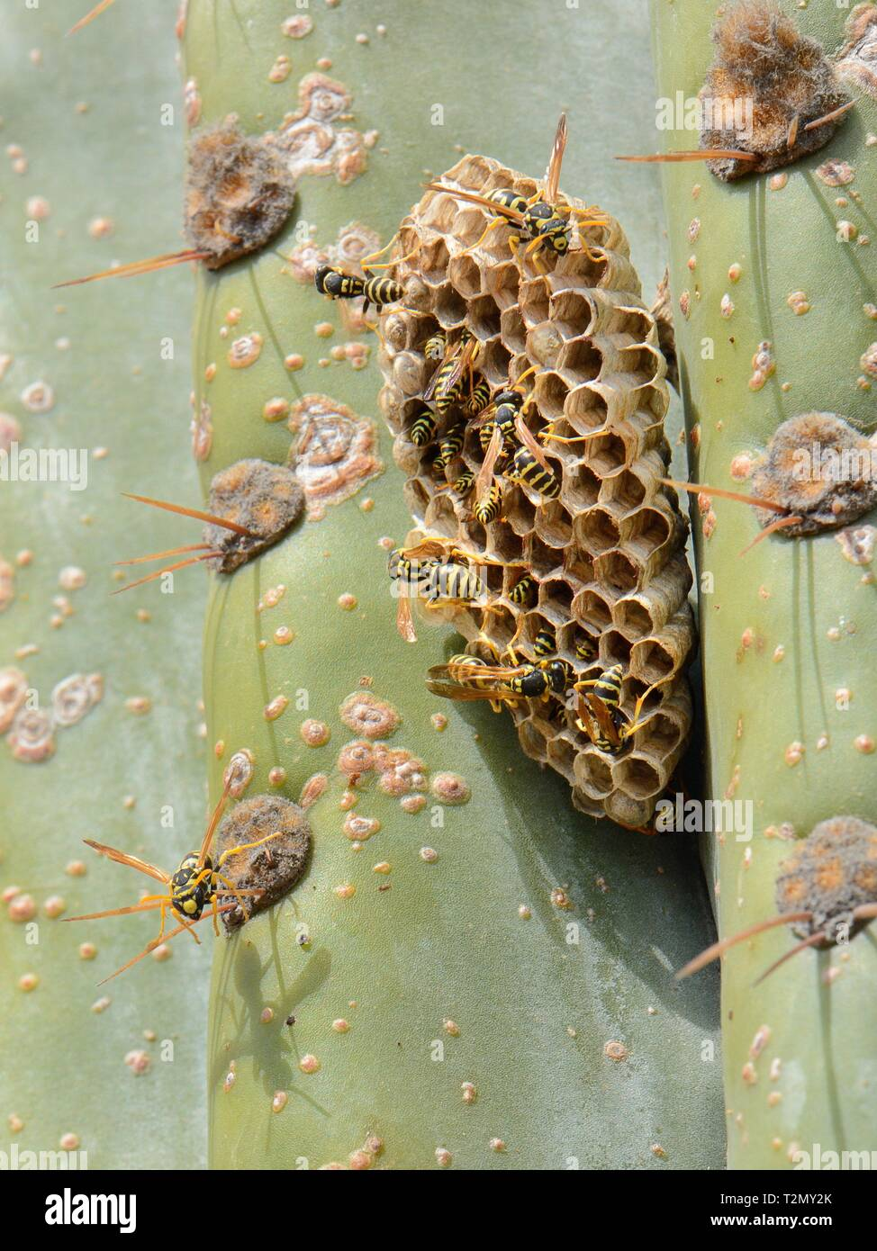 European paper wasp (Polistes dominula) colony at their nest on a large cactus, Mallorca, Spain, August. - Stock Image