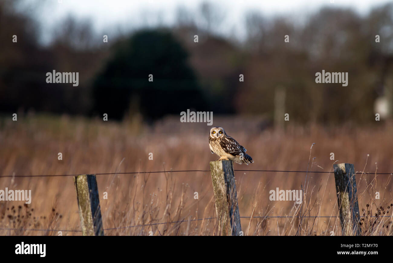 Short eared owl, Alios flammeus standing on fence post against defocussed background. Stock Photo