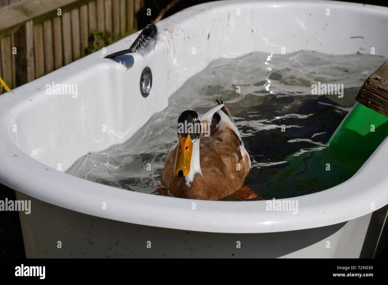Indian runner duck in the bath at the Bucks Goat Centre, Stoke Mandeville, Aylesbury, Buckinghamshire, UK - Stock Image