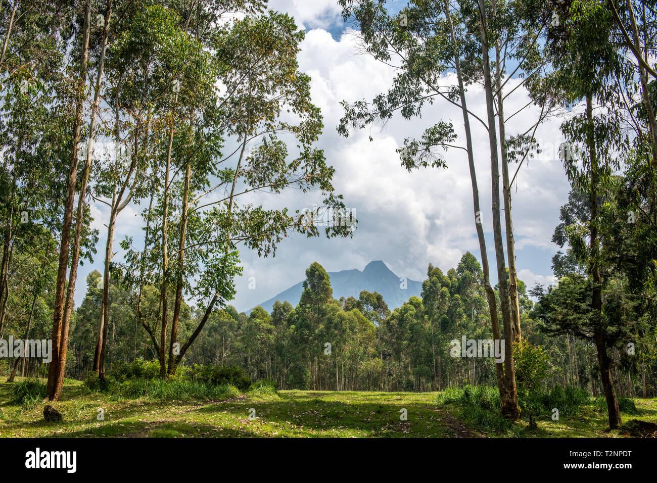 Eucalyptus grove with Mount Sabyinyo volcano looming in the distance, Kinigi, Rwanda Stock Photo