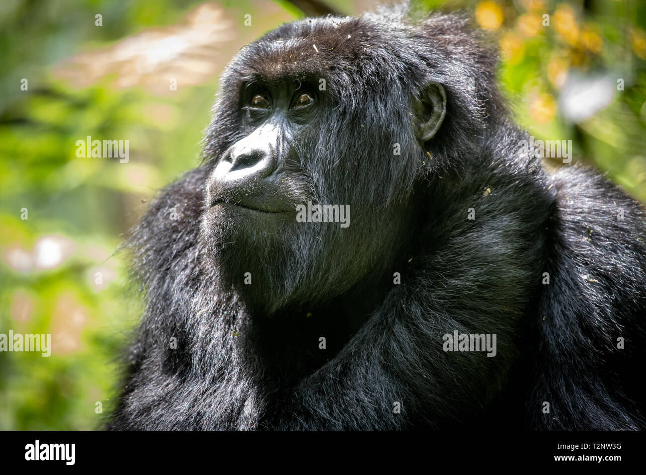 Mountain Gorilla (Gorilla beringei beringei)  of the Muhoza group, in Volcanoes National Park,  Virunga mountain range , Rwanda - Stock Image