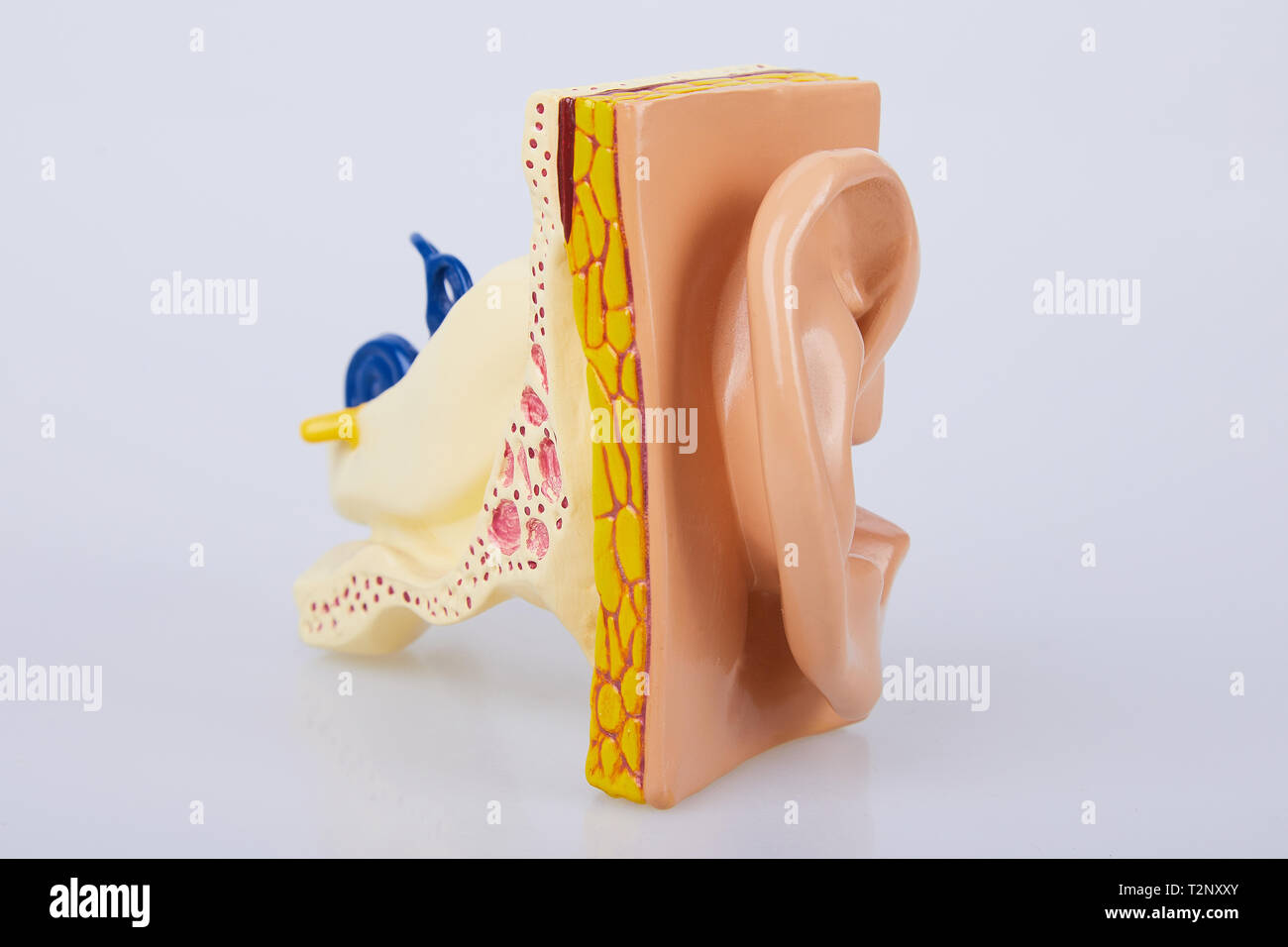 Artificial human ear model isolated on white background. Human ear. Ear model. A model of the ear for elementary science classes. - Stock Image