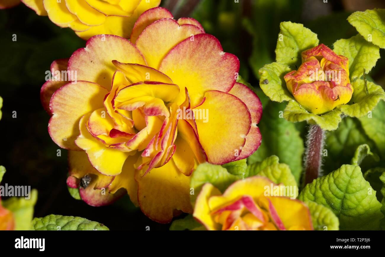 Calibrachoa 'Chameleon Double-Pink-Yellow' - Stock Image
