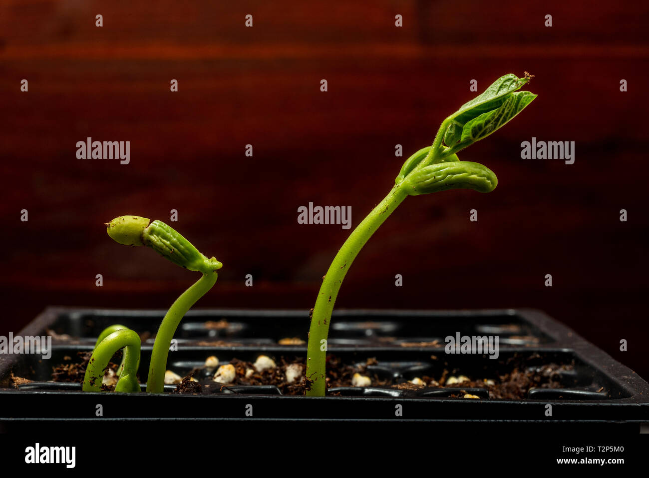 Horizontal shot of bean sprouts in a plastic tray getting ready for planting. - Stock Image