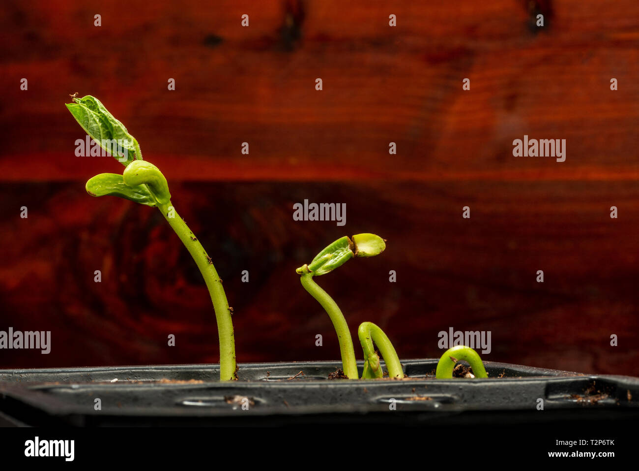 Horizontal shot of some fresh bean sprouts in a plastic tray with copy space. - Stock Image