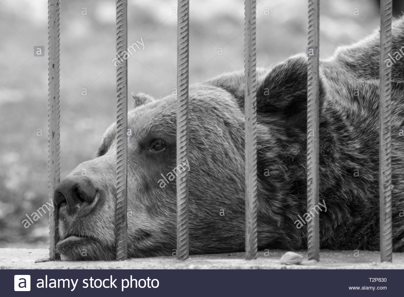 Sad captive brown bear in a zoo cage looking through the metal bars. Concept of animal rights, abuse, cruelty, misery and pain. - Stock Image