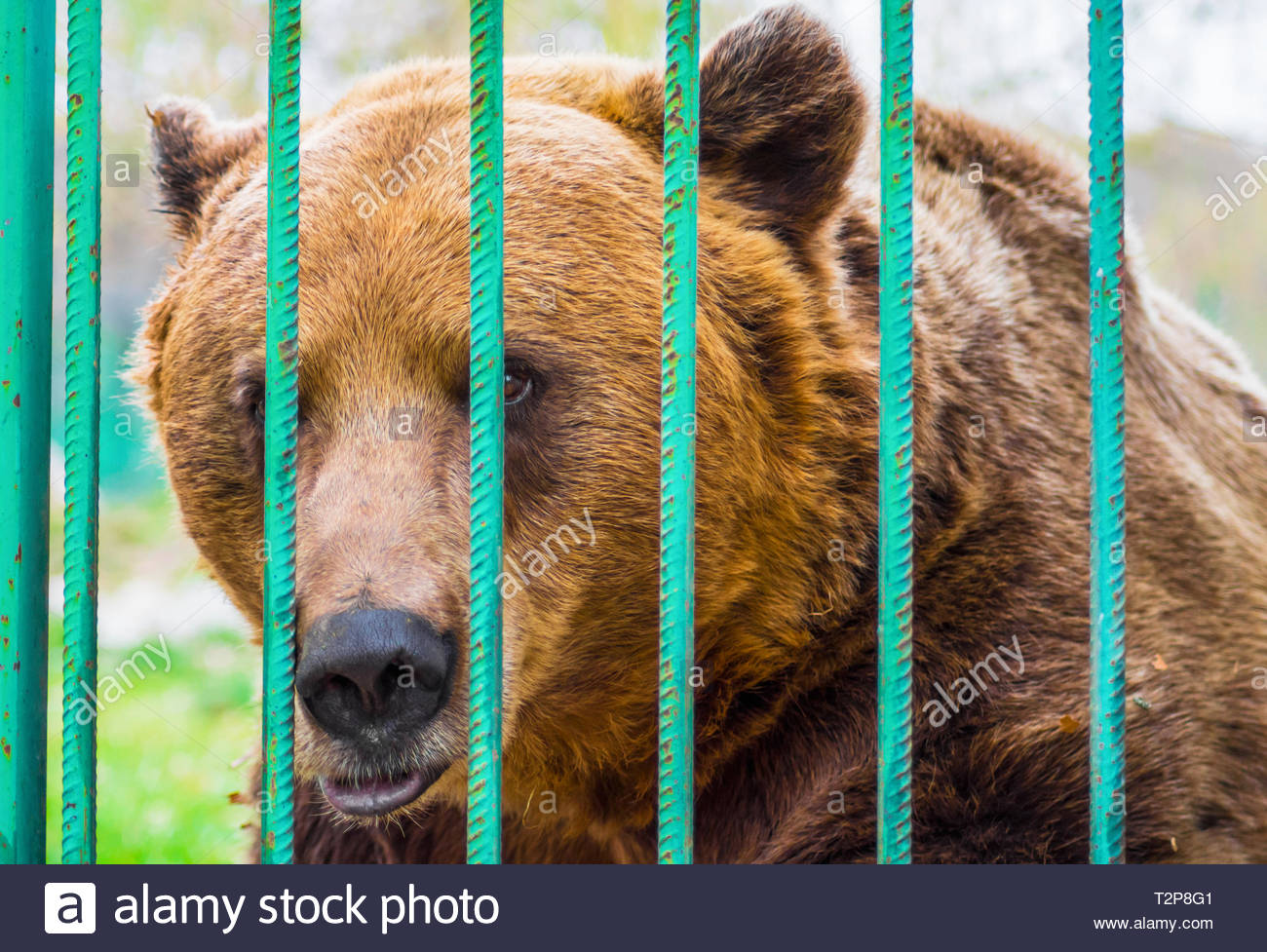 Sad brown bear looking through the bars of a cage in the zoo. Concept of abuse, cruelty, animal rights and captivity. - Stock Image