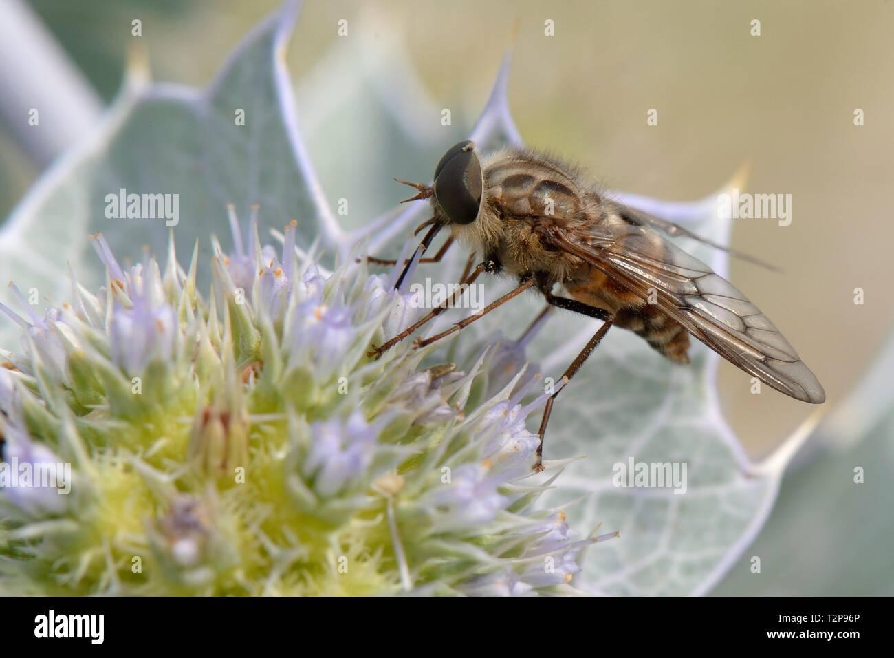 A strictly nectar-feeding Horse fly (Pangonius striatus), endemic to Sardinia, feeding on Sea holly flowers (Eryngium maritimum) on a beach, Sardinia, - Stock Image