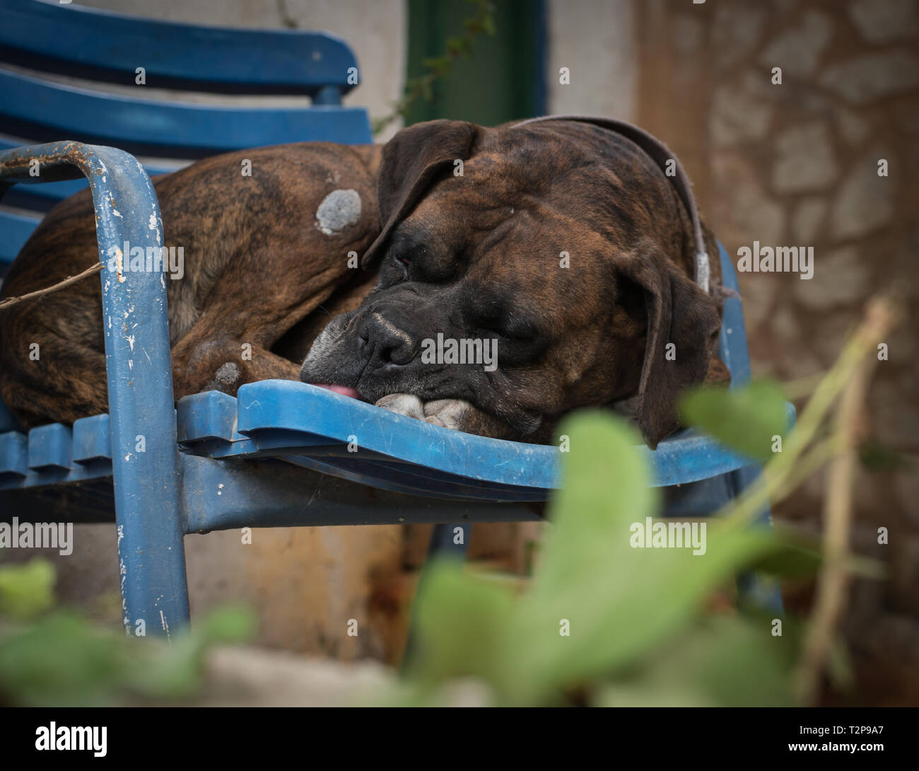 Sleeping dog on a chair - Stock Image