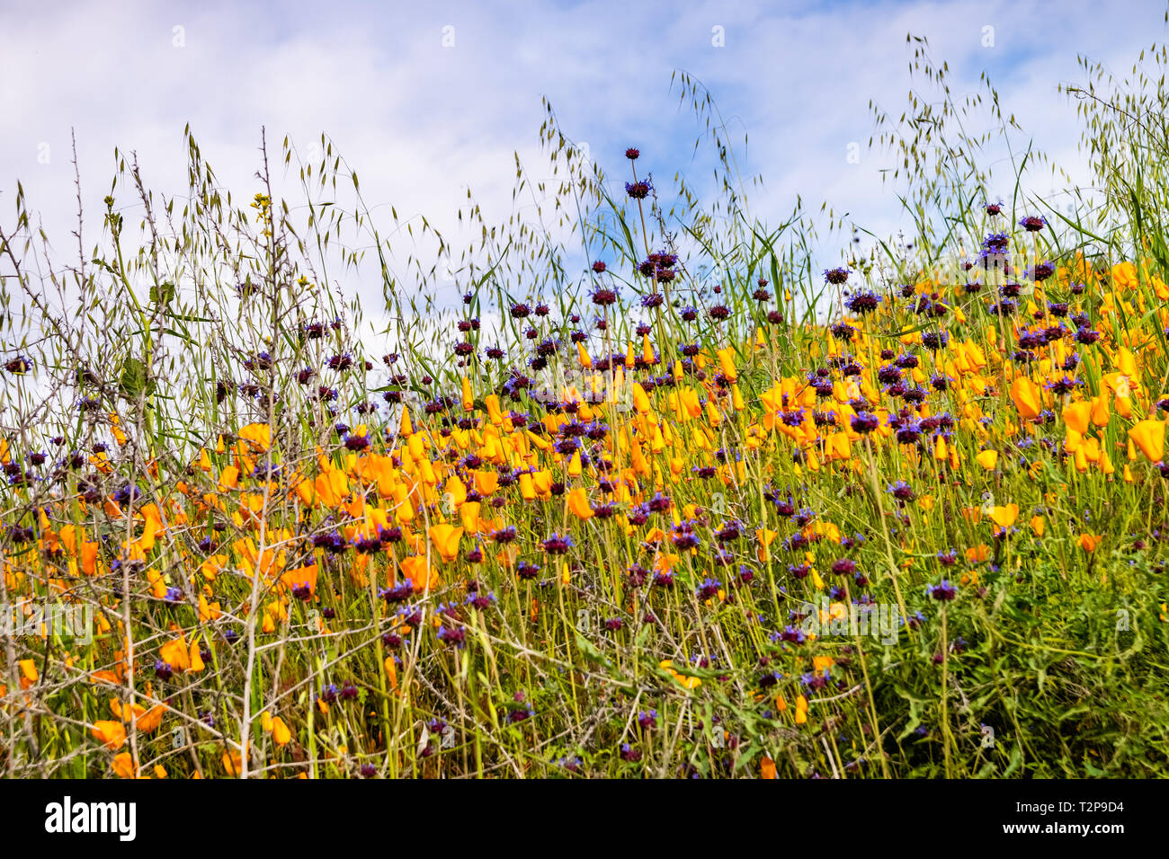 California poppies (Eschscholzia californica) and Chia (Salvia hispanica) blooming on the hills of Walker Canyon during the superbloom, Lake Elsinore, - Stock Image