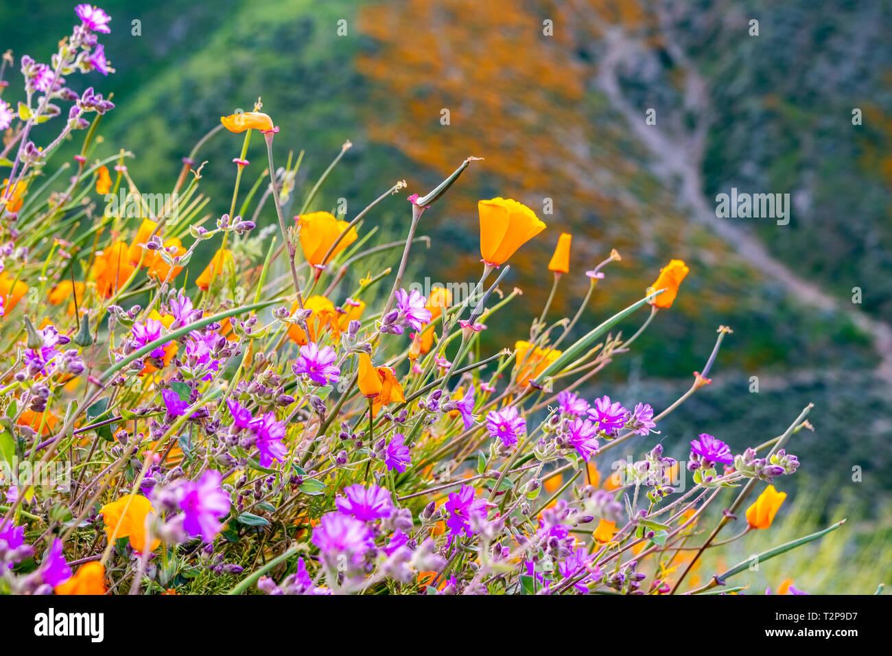 California poppies (Eschscholzia californica) and Desert wishbone bush (Mirabilis laevis) wildflowers blooming in Walker Canyon, Lake Elsinore, Califo Stock Photo