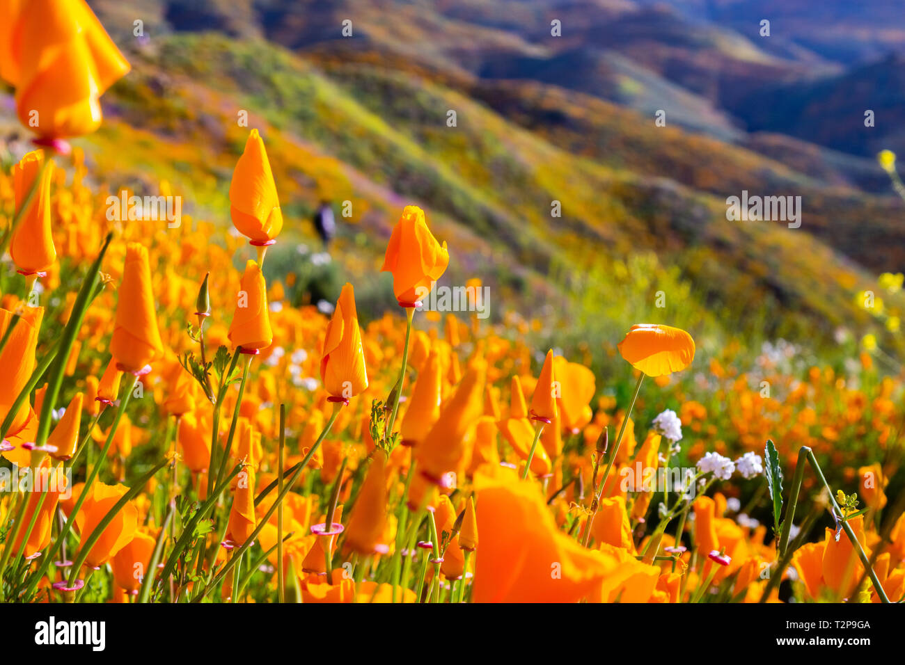 California poppies blooming in Walker Canyon during the superbloom, Lake Elsinore, south California - Stock Image