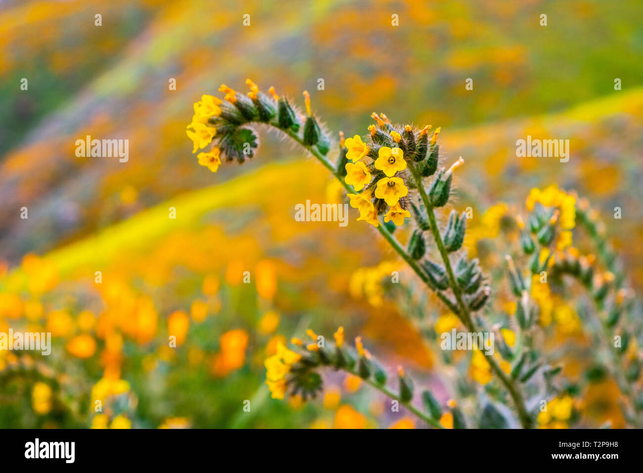 Close up of Fiddleneck (Amsinckia tesselata) wildflowers blooming on the hills of Walker Canyon, Lake Elsinore, California - Stock Image