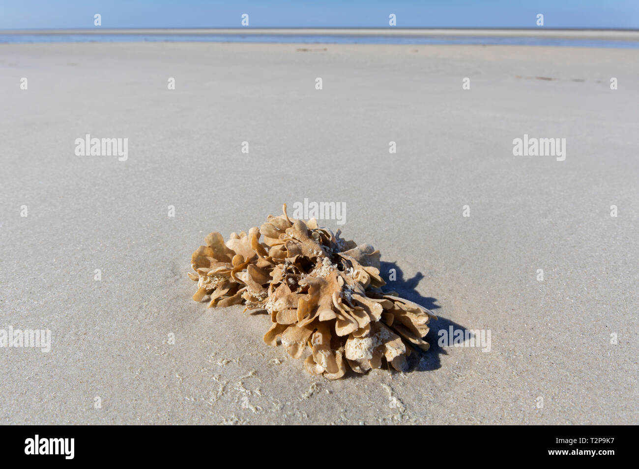 Flustra foliacea / Eschara foliacea, species of bryozoans, colonial animal found in the northern Atlantic Ocean washed ashore on tidal mudflat Stock Photo