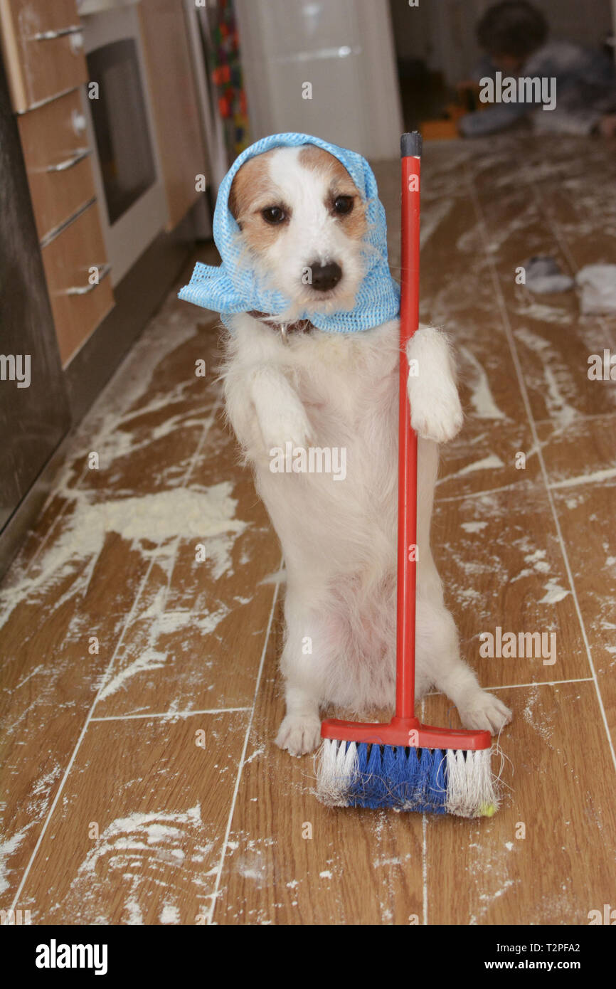 Funny Dog Cleaning With A Broom A Messy Because A Flour Fight Child Playing Like Background Stock Photo Alamy