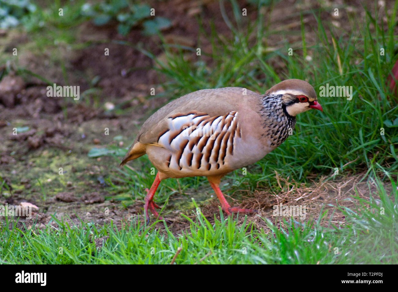 Red Legged Partridge - Stock Image