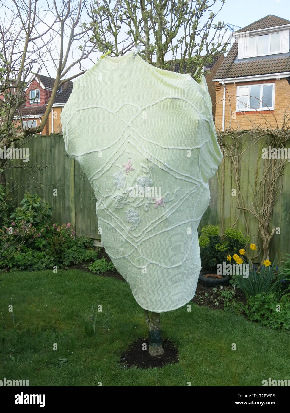 An old embroidered bedspread is recycled to wrap round a fruit tree and creates a womanly outline; frost protection in an English garden, April 2019 - Stock Image