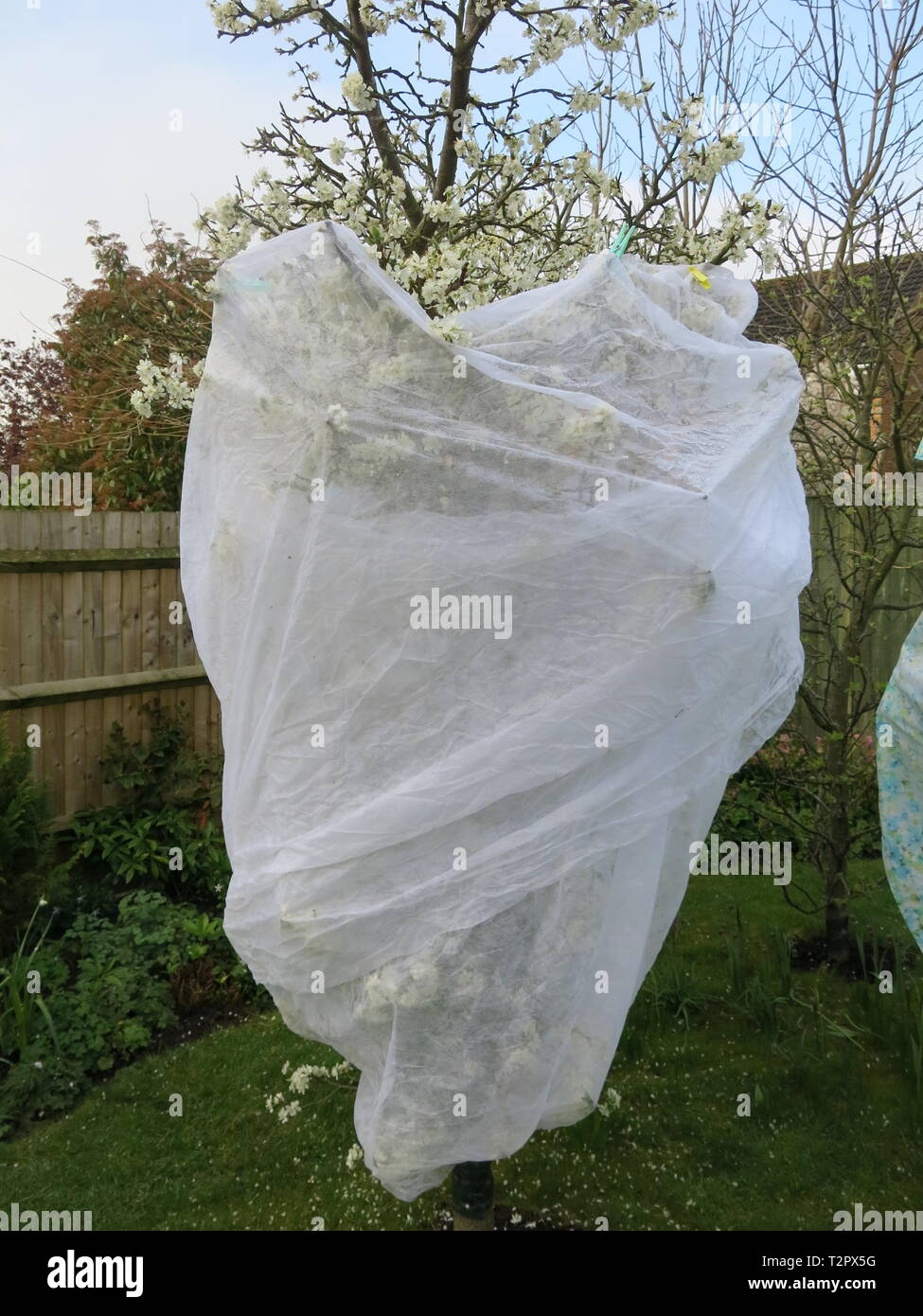 Horticultural fleece is used to protect the blossom of a fruit tree in an English garden; gardeners beware of a sharp April frost in 2019. - Stock Image