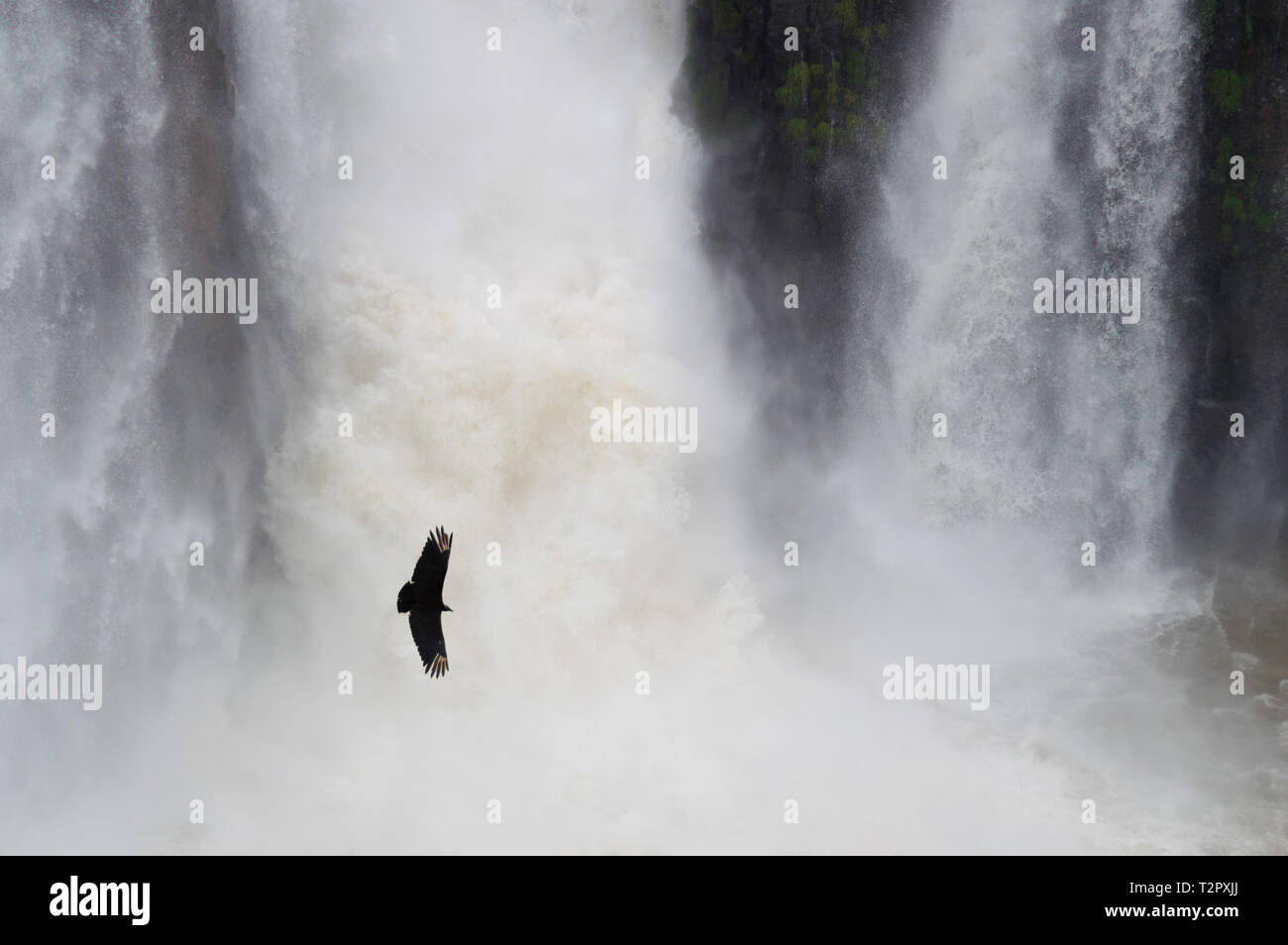 Strong nature.  Bird flying near waterfall in Iguazú - Stock Image