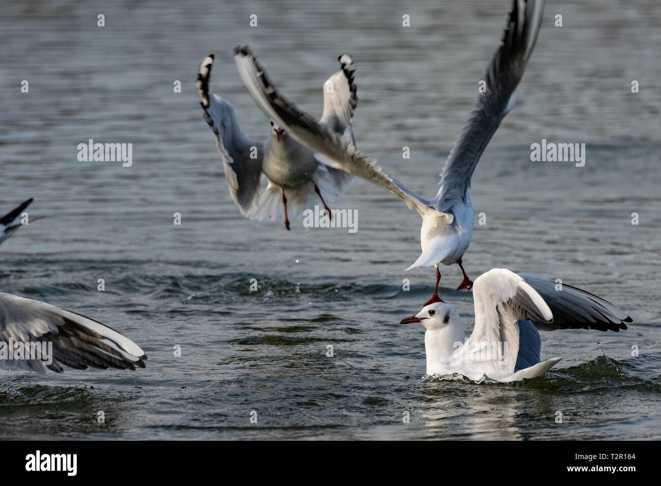 Black headed gulls (Chroicocephalus ridibundus) diving into water Stock Photo